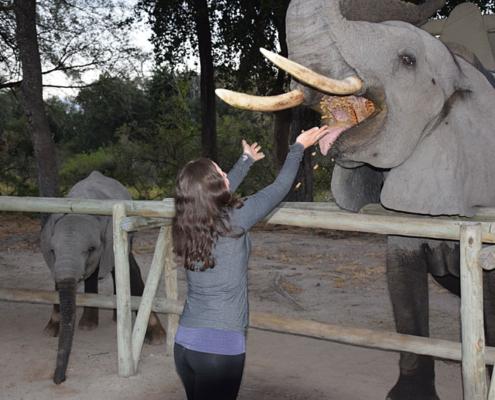 Feeding the elephants at Abu Camp