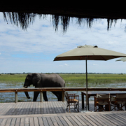 Elephant strolling by Mombo Camp, Botswana
