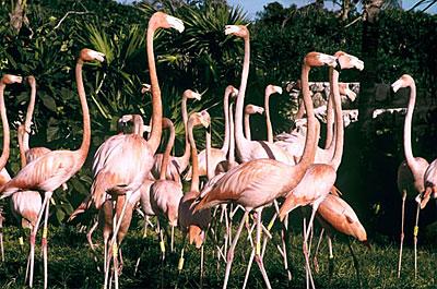 Xcaret Flamingos