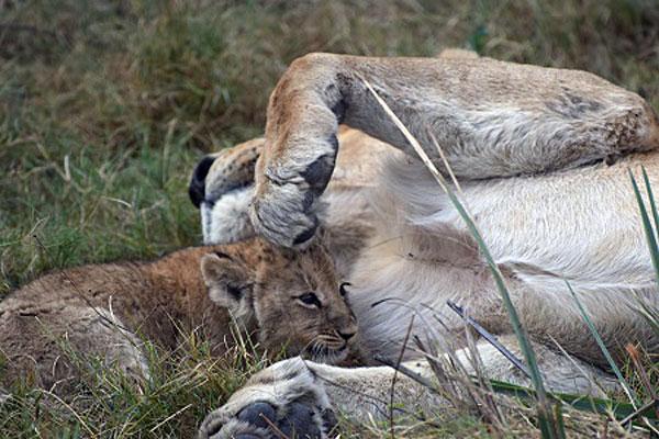 Mombo Lions