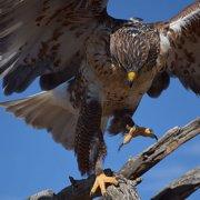 Hawk, Sonoran Desert
