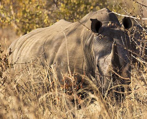 A rhino in Mosi-oa-Tunya National Park