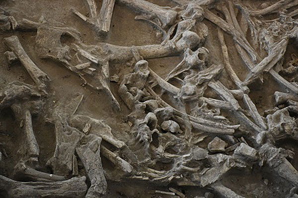 Bison Fossils