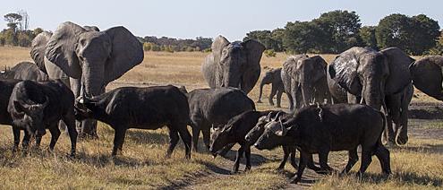 Zimbabwe Hwange Linkwasha Elephants herding Buffalo