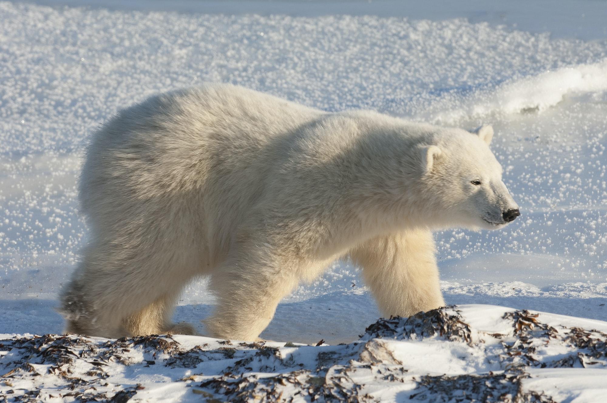 A polar bear on a snowfield in Manitoba.