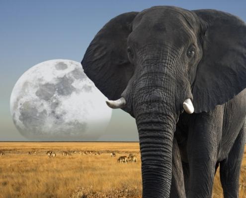 African Elephant - Moon rising over wildlife in Etosha National Park in Namibia