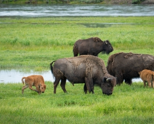 Peaceful nature scene of bison at Yellowstone National Park feeding animals in the wild