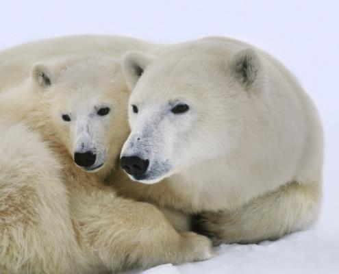 Polar bear with cub, Ursus maritimus, Hudson Bay, Canada