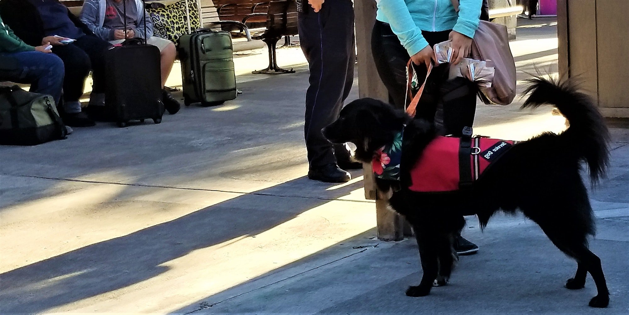Service Dog Ready to Board the Airplane