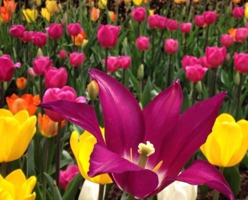 || Tulip Festival ||
